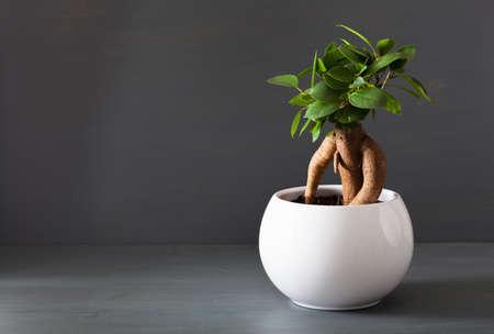 houseplant ficus microcarpa ginseng in white flowerpot Foto de archivo