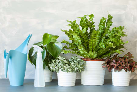 houseplants Asplenium nidus, peperomia and fittonia in flowerpots