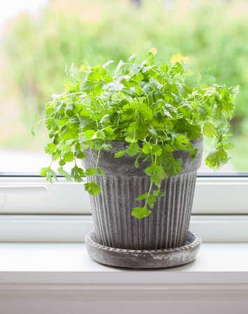 fresh cilantro herb in pot Stock Photo