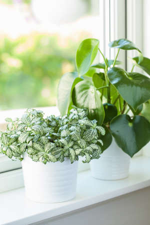 houseplant fittonia albivenis and peperomia in white flowerpot 版權商用圖片 - 102494701
