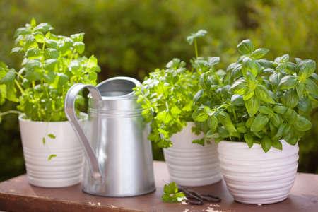 fresh basil parsley mint herbs in garden Reklamní fotografie