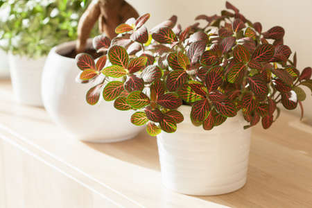houseplant fittonia albivenis in white flowerpot Фото со стока
