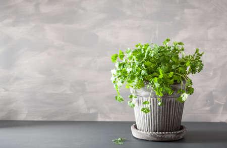 fresh cilantro herb in flowerpot Stock Photo