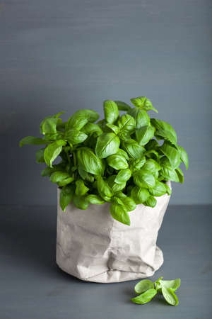 fresh basil herb in paper pot Stock fotó