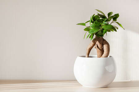 houseplant ficus microcarpa ginseng in white flowerpot Stock Photo