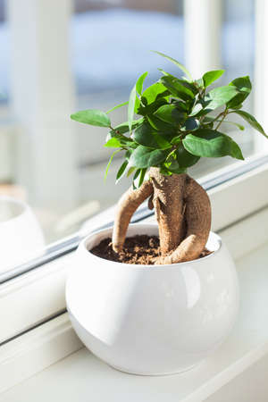 houseplant ficus microcarpa ginseng in white flowerpot 版權商用圖片