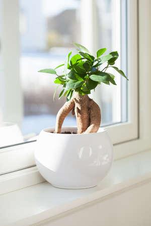 Houseplant ficus microcarpa ginseng in white flowerpot 免版税图像