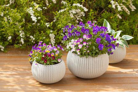 Beautiful pansy summer flowers in flowerpots in garden Imagens - 116951319