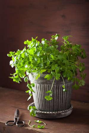 fresh cilantro herb in flowerpot