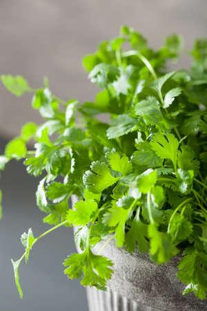 Fresh cilantro herb in flowerpot Zdjęcie Seryjne