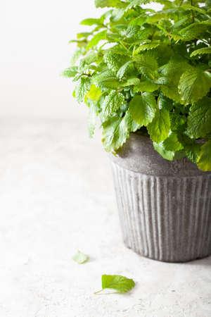 lemon balm (melissa) herb in flowerpot