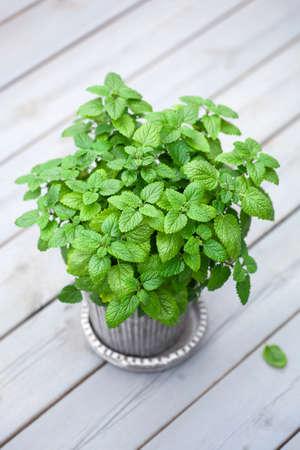 lemon balm (melissa) herb in flowerpot on balcony