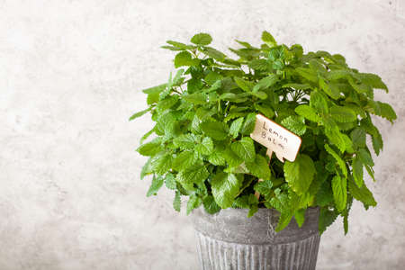 lemon balm (melissa) herb in flowerpot with name tag