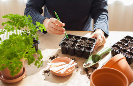 gardening, planting at home. man sowing seeds in germination box Stockfoto