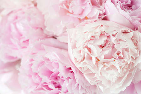 piękny różowy kwiat piwonii w tle
