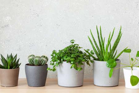 green houseplants succulent aloe vera, gasteria duval, pilea depressa, parodia warasii Standard-Bild