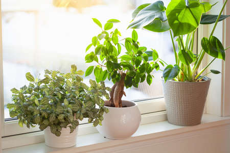 green houseplants fittonia, monstera and ficus microcarpa ginseng in white flowerpots on window
