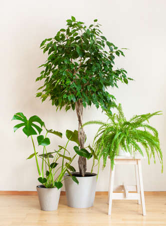houseplants monstera nephrolepis and ficus benjamina in flowerpots