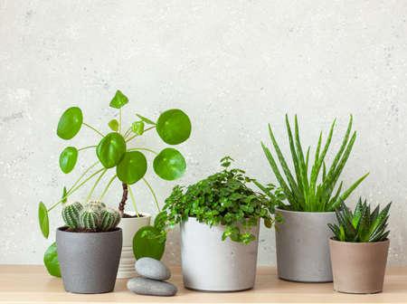 green houseplants cactus succulent aloe vera, gasteria duval, pilea depressa, parodia warasii, ficus