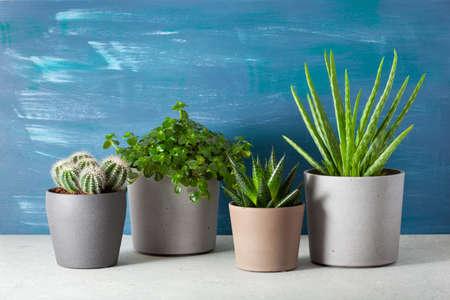 green houseplants cactus succulent aloe vera, gasteria duval, pilea depressa, parodia warasii