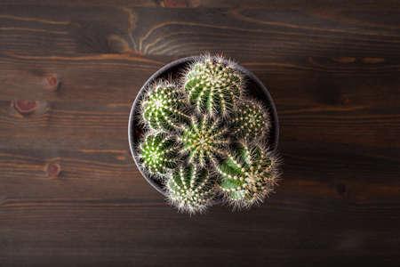 green houseplant flat lay cactus parodia warasii Stok Fotoğraf