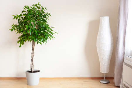 ficus benjamina large green houseplant with long braided stem Stockfoto