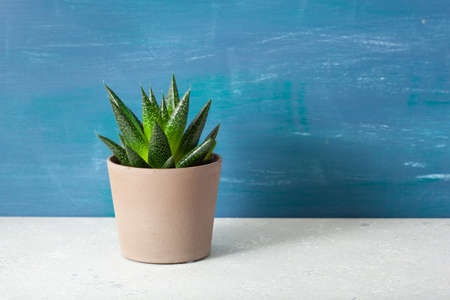 green houseplant succulent gasteria duval