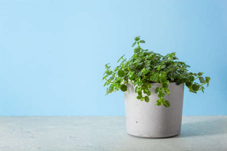 green houseplant pilea depressa in concrete flowerpot