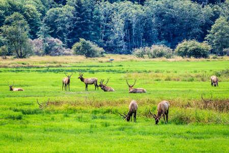 Herd of elk grazing in a meadow Stock Photo