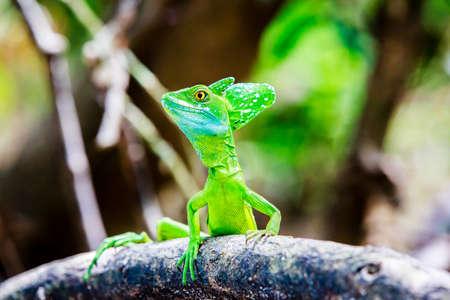 Green Basilisk Lizard 写真素材