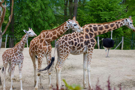 family of three giraffes living in captivity in the zoo