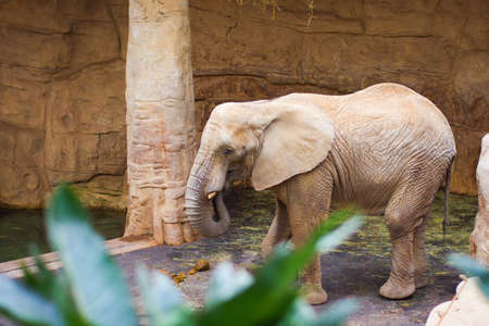 Little gray elephant living in captivity in the zoo
