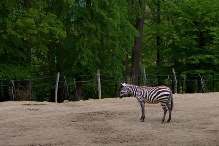 lone striped zebra living in captivity in the zoo