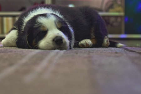 little puppy bordercollie sleeping on a carpet in the living room Stock fotó