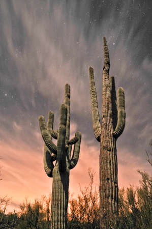 carnegiea: Saguaro Cacti at night, Sonran desert Arizona. Stock Photo