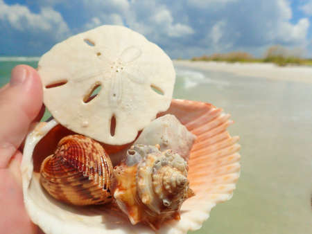 shelling: Sand dollar and shells