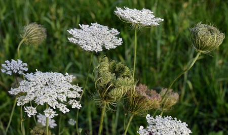 Daucus carota flowers