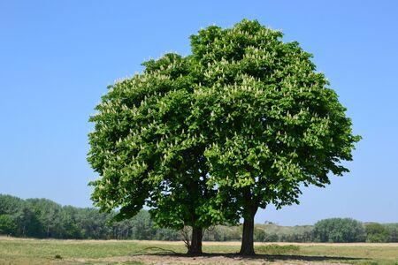 Chestnut trees in the springtime.