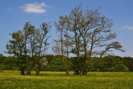 Old alder trees in the springtime.