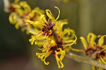 Toverhazelaar in flowering. Stock Photo