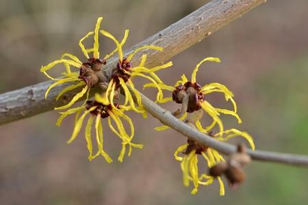 hamamelis: Toverhazelaar in flowering. Stock Photo