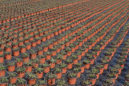 nurseryman: Lobelia or lobelia Campanulaceae in the wholesale in Voorschoten state at a breeder ready for planting centre to be transported  Stock Photo