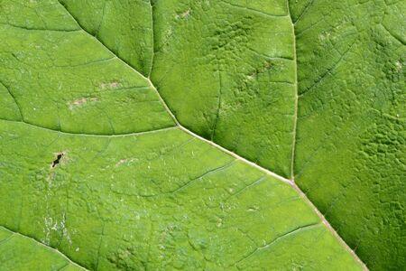 Veins of a butterbur in Leidschendam, The Vlietlanden, The Netherlands Stock Photo - 13965178