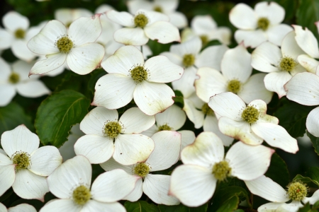 Eastern flowering dogwood  Cornus  photo