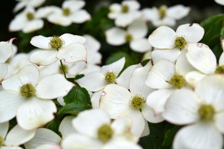 Eastern flowering dogwood  Cornus