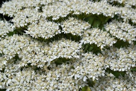 berm: Micro photo from a Giant Hogweed or Heracleum mantegazzianum in bloom
