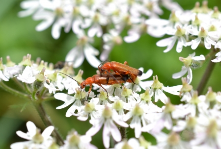 Two red soldiers or Cantharis rufa couples on ordinary berenklaauw or Heracleum sphondylium