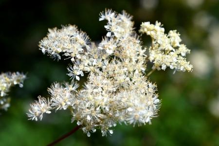 Meadowsweet or Filipendula Ulmaria in bloom