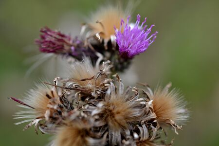 micro recording: Along the Boelekeerlpad in Zelhem, The Netherlands, are Thistles in August almost finished blooming