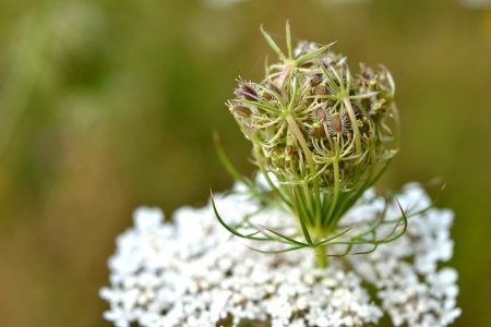 micro recording: Daucus carota in bloom in a grassland in Zelhem, The Netherlands